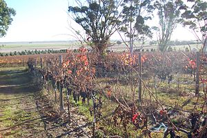 Australian wine - Grapevines at Russet Ridge Winery near Naracoorte in the Wrattonbully region