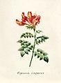 Vintage Flower illustration by Pierre-Joseph Redouté, digitally enhanced by rawpixel 86.jpg