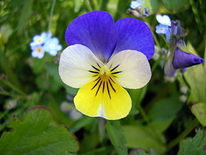 Description de l'image  File:Viola Tricolor.jpg .