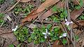 Viola hederacea (16092306486).jpg