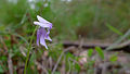 Viola hederacea flower profile (15495758514).jpg