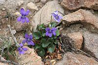 Viola rupestris 18032006