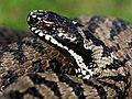 Vipera berus bosniensis.jpg