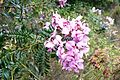 Virgilia tree Keurboom flowers - Cape Town 4.JPG