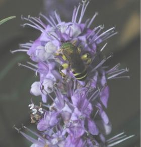 Vitex agnus-castus flowers with halictid bee, هيمنغواي
