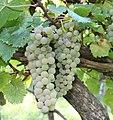 Vitigno Pecorino di Arquata del Tronto - Grappoli d'uva.jpg