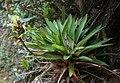 Vriesea williamsii 2.jpg