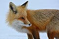 Vulpes Vulpes in snow.jpg