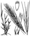 Vulpia fasciculata illustration (01).png