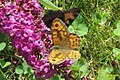 Wall brown and Small tortoiseshell (NH) (8141180573).jpg