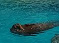 Walrus swimming.jpg