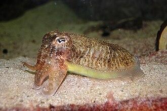 Common cuttlefish - Image: Washington DC Zoo Sepia officinalis 2