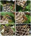 Wasp colony.jpg
