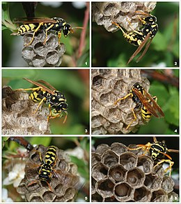 Wasp colony.jpg