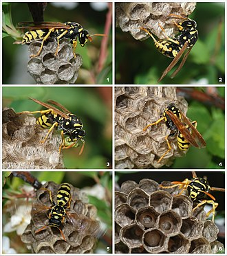 Structures built by animals - A young paper wasp queen (Polistes dominula) starting a new colony