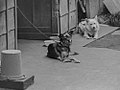 Watchdogs in Showa era, Japan (by Jun Shiraishi @Photozou 166082611).jpg