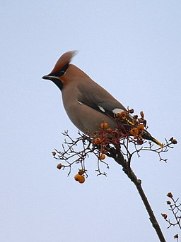 Waxwing - geograph.org.uk - 1528567