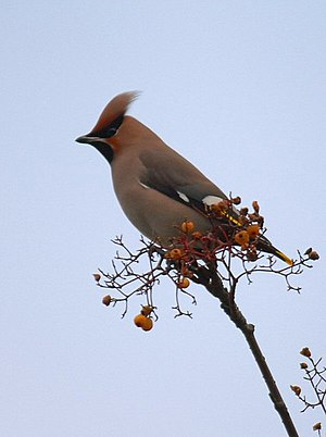 English: Waxwing Waxwing in Warrington, Februa...