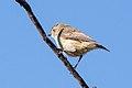 Weebill (Smicrornis brevirostris) (8079661735).jpg