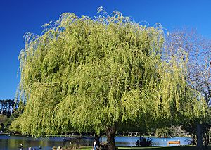 Weeping Willow, shot in Auckland, New Zealand ...