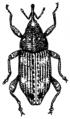 Weevil (PSF).png