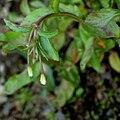 Weidenröschen (Epilobium lactiflorum) 5780.JPG