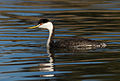 Western Grebe (Aechmophorus occidentalis), Corte Madera, California.jpg