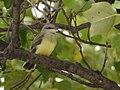Western Kingbirds recently fledged (36987360413).jpg