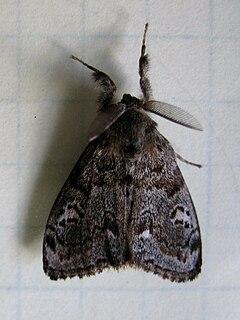240px western tussock moth