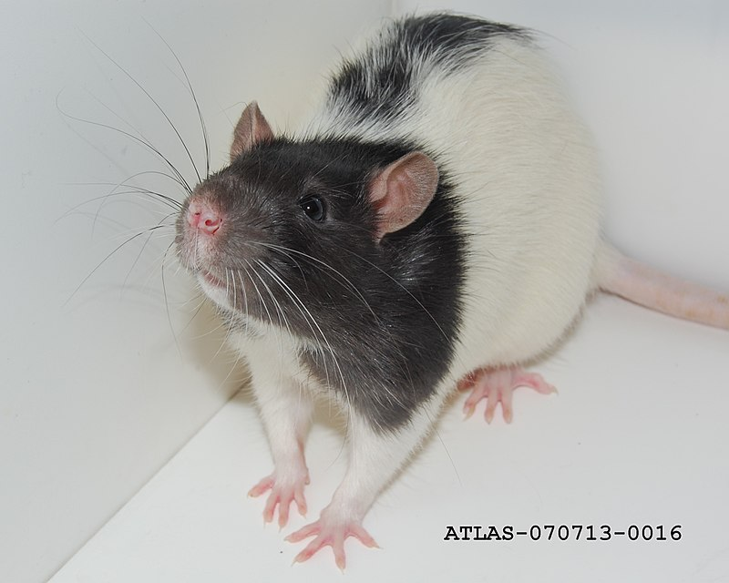 Whiskers of the Hooded Lister Rat ATLAS-070713-0016.jpg