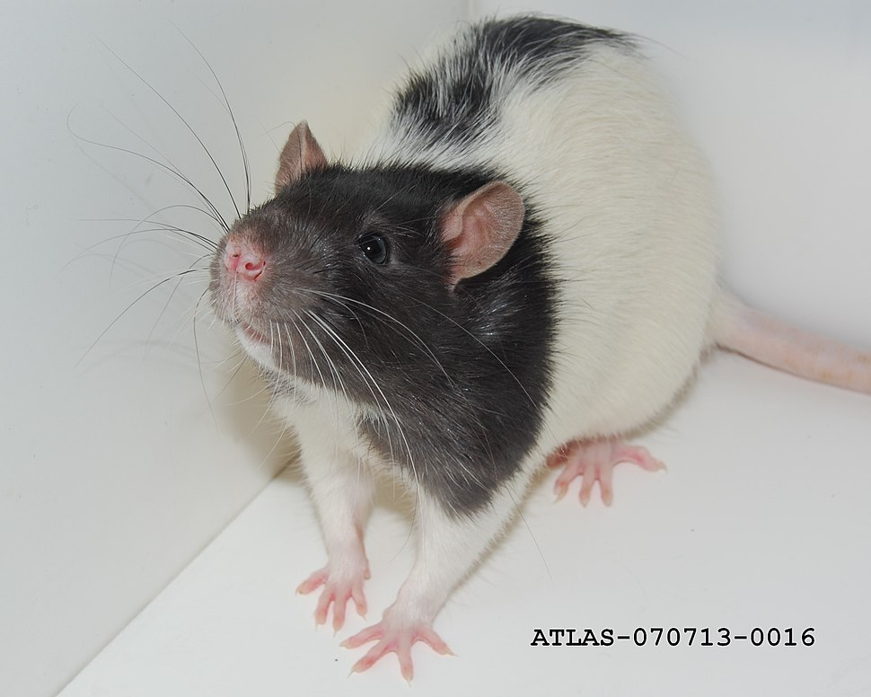 Whiskers of the Hooded Lister Rat ATLAS-070713-0016