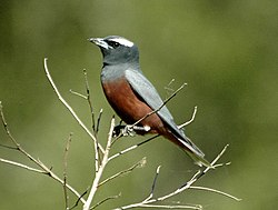 White-browed Woodswallow Samcem.JPG