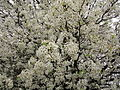 White-flowering-pear - West Virginia - ForestWander.jpg