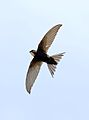 White-rumped swift, Apus caffer, at Suikerbosrand Nature Reserve, Gauteng, South Africa (30475013756).jpg