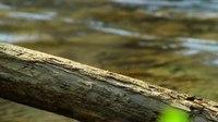 File:White-throated dipper (Cinclus cinclus) in Slovakia.webm