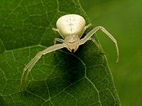 White Crab Spider - Flickr - treegrow (1).jpg