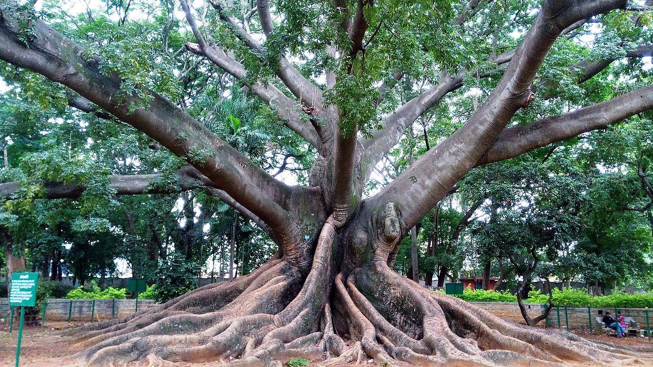File White Silk Cotton Tree Lalbagh Botanical Garden