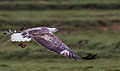 White bellied Sea Eagle flight from above.jpg