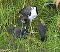 White breasted waterhen and brood - Flickr - Lip Kee.jpg