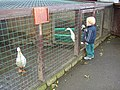 White ducks at Ponderosa, Norristhorpe, Liversedge - geograph.org.uk - 280283.jpg