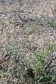 Whitestem blazingstar (Mentzelia albicaulis) 2017.05.13 10.23.44 IMG 9333 - Flickr - andrey zharkikh.jpg