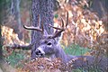 Whitetail Buck (5140954370).jpg