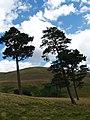 Windblown pines near Portmore Loch - geograph.org.uk - 212322.jpg