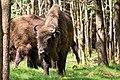 Wisents (Bison bonasus) in wood Almindingen on island Bornholm 2.jpg