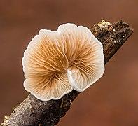 Wit oorzwammetje s.l. (Crepidotus variabilis s.l.) 09-01-2021. (d.j.b). 02.jpg