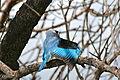 Woodland Kingfisher (Halcyon senegalensis) (16793235001).jpg
