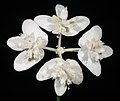 Xanthosia atkinsoniana - Flickr - Kevin Thiele.jpg