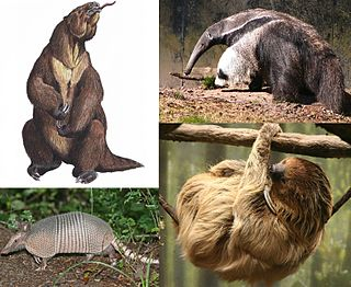 Xenarthra Superorder of mammals including anteaters, sloths, and armadillos
