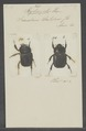 Xyloryctes - Print - Iconographia Zoologica - Special Collections University of Amsterdam - UBAINV0274 021 06 03 0030.tif