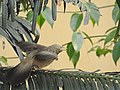 Yellow-billed babbler DSCN1010.jpg
